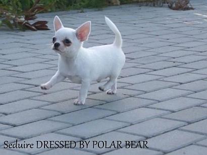 seduire dressed by polar bear