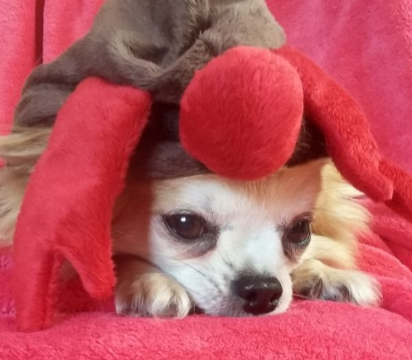Urocza Ruda długowłosa chihuahua Yoko