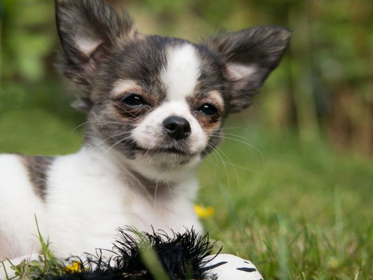 Informacje o rasie chihuahua